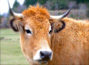Vacherie vache-coul-300x220